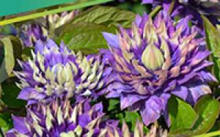 Рябина черноплодная: описание сорта с фото, отзывы, посадка и уход