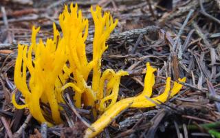 Калоцера клейкая: описание вида и где растет, фото