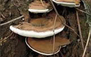 Ганодерма смолистая: описание вида и где растет, фото