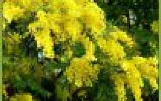 Блазия маленькая: описание с фото, где растет, свойства