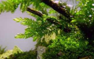 Фонтиналис гипновидный: описание с фото, где растет, свойства