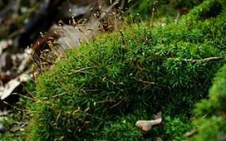 Атрих, или атрихум волнистый: описание с фото, где растет, свойства