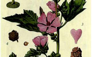 Алтей лекарственный: описание сорта с фото, отзывы, посадка и уход