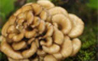 Мецгерия спаренная: описание с фото, где растет, свойства