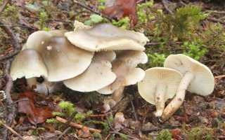 Рядовка белая: описание вида и где растет, фото