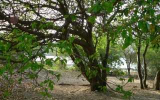 Абиетинелла елеобразная: описание с фото, где растет, свойства