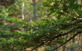 Биссонектрия наземная: описание вида и где растет, фото