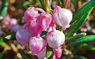Гирофора многолистная: описание с фото, где растет, свойства