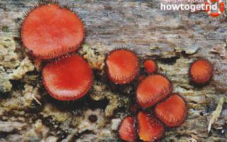 Скутеллиния щитовидная: описание вида и где растет, фото