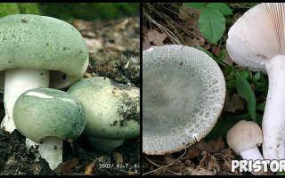 Сыроежка выцветающая: описание вида и где растет, фото
