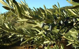 Катинелла оливковая: описание вида и где растет, фото