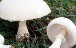 Вольвариелла слизистоголовая: описание вида и где растет, фото