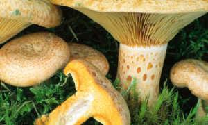 Млечник липкий: описание вида и где растет, фото