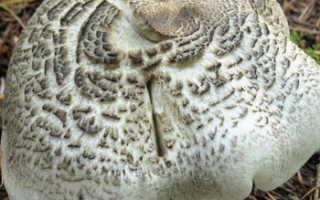 Рядовка тигровая: описание вида и где растет, фото