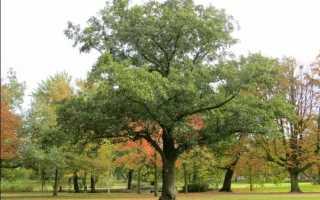 Рамалина опыленная: описание с фото, где растет, свойства