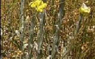 Бессмертник песчаный: описание сорта с фото, отзывы, посадка и уход
