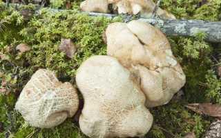 Альбатреллус гребенчатый: описание вида и где растет, фото