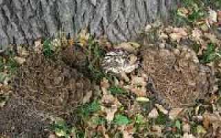 Мерипилус гигантский: описание вида и где растет, фото