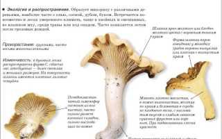 Грибы Лисички (lat: Cantharellus). Все виды лисичек с фото и описанием