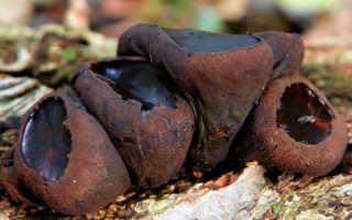 Булгария инквинанс: описание вида и где растет, фото