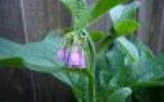Антитрихия короткоповислая: описание с фото, где растет, свойства