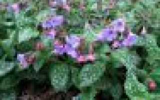 Медуница лекарственная: описание сорта с фото, отзывы, посадка и уход