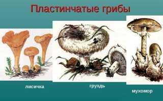 Что значит пластинчатые грибы?