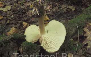 Коллибия широкопластинчатая: описание вида и где растет, фото