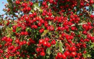 Боярышник кроваво-красный: описание сорта с фото, отзывы, посадка и уход