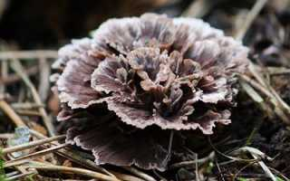 Телефора гвоздичная: описание вида и где растет, фото