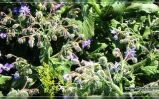 Огуречная трава: описание сорта с фото, отзывы, посадка и уход