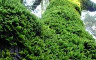 Дрепаноклад, или дрепанокладус плауновидный: описание с фото, где растет, свойства