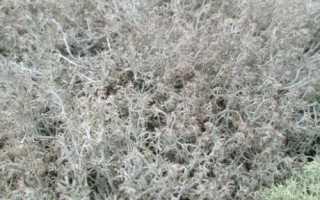 Кладония оленевидная: описание с фото, где растет, свойства