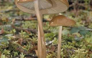 Удемансиелла корневая: описание вида и где растет, фото