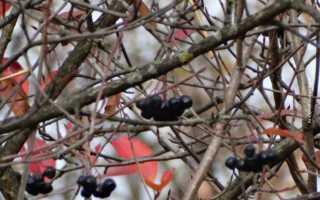 Арония черноплодная: описание сорта с фото, отзывы, посадка и уход
