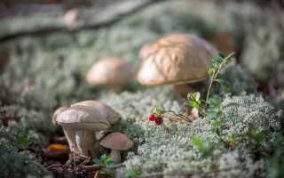 Подберёзовик: описание вида и где растет, фото