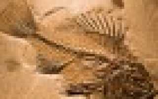 Меланотус филлипса: описание вида и где растет, фото