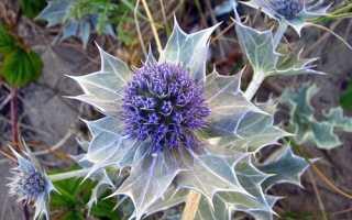 Эуринхий, или эуринхиум полосатый: описание с фото, где растет, свойства