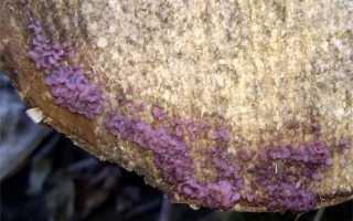 Аскокорине мясная: описание вида и где растет, фото