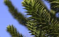 Гирофора, или умбликария арктическая: описание с фото, где растет, свойства