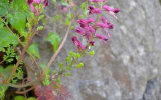 Дымянка лекарственная: описание сорта с фото, отзывы, посадка и уход