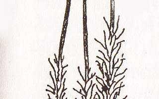 Дикран, или дикранум многоножковый, или волнистый: описание с фото, где растет, свойства