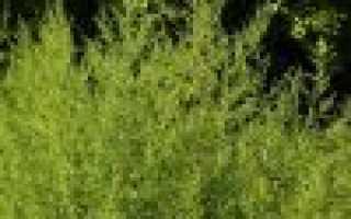 Стереокаулон голый: описание с фото, где растет, свойства