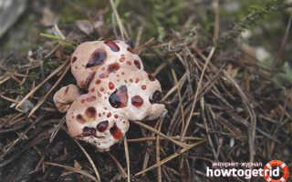 Гиднеллум Пека: описание вида и где растет, фото