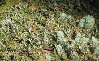 Цетрария исландская: описание с фото, где растет, свойства