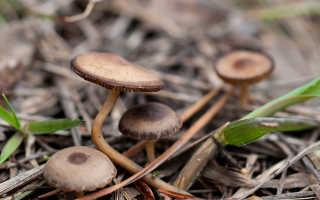 Стробилюрус черенковый: описание вида и где растет, фото