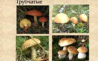 Что значит трубчатые грибы?