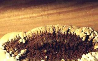 Домовой гриб: описание вида и где растет, фото