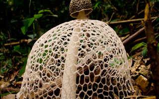 Симоцибе лоскутная: описание вида и где растет, фото