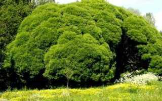 Тортелла ломкая: описание с фото, где растет, свойства